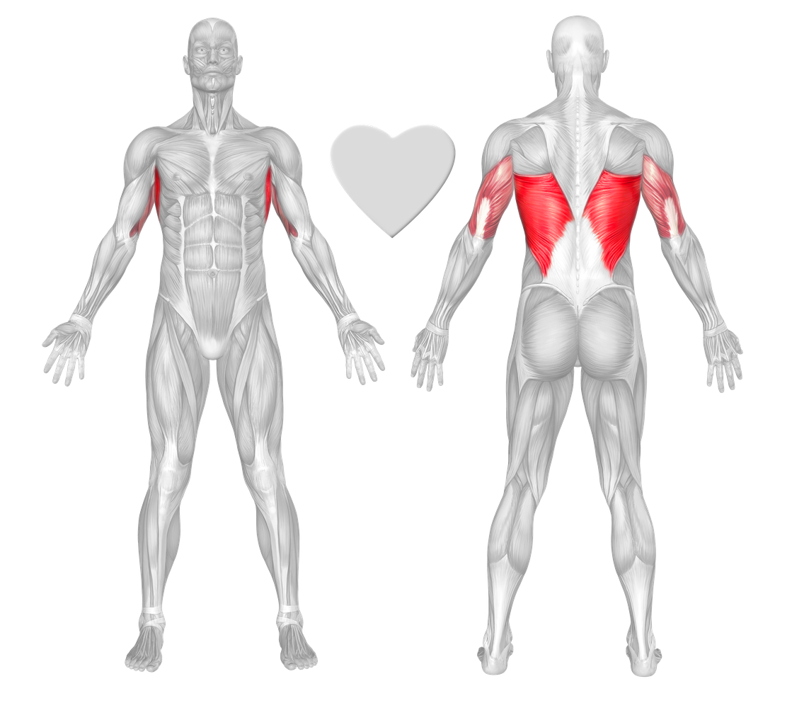 latissimus dorsi (lats) exercises & workouts - freetrainers, Human Body